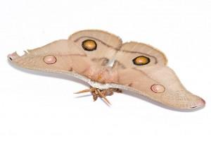 1024px-Female_emperor_gum_moth